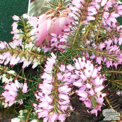 Buy Erica carnea Pink Spangles (Heather) online from Jacksons Nurseries