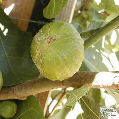 Buy Fig (Ficus) Brown Turkey online from Jacksons Nurseries