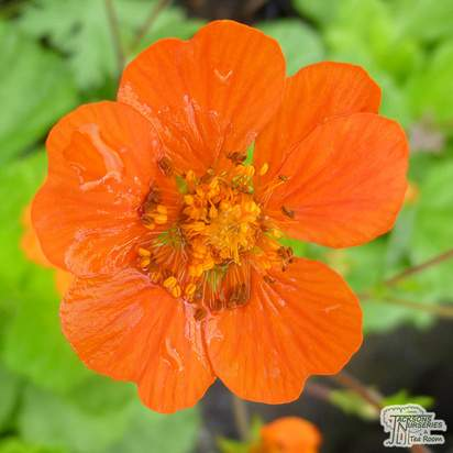 Buy Geum coccineum Borisii (Boris Avens) online from Jacksons Nurseries