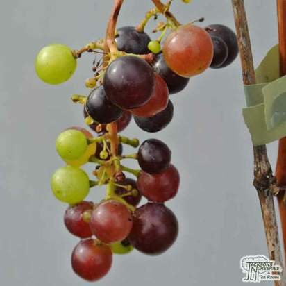 Buy Grape - Vitis vinifera Black Hamburg online from Jacksons Nurseries