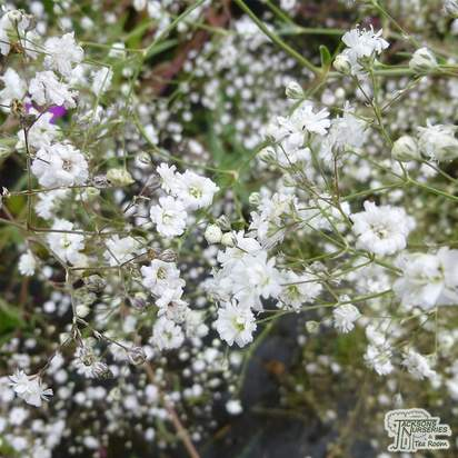 Buy Gypsophila paniculata Bristol Fairy (Baby's Breath) online from Jacksons Nurseries