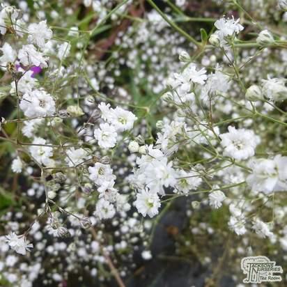 Buy Gypsophila paniculata Bristol Fairy (Baby's Breath) online from Jacksons Nurseries