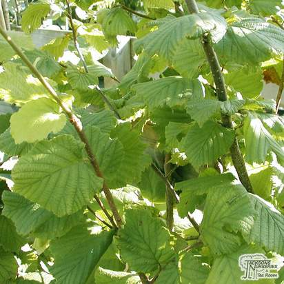 Buy Hazelnut - Corylus avellana Webbs Prize Cobb online from Jacksons Nurseries