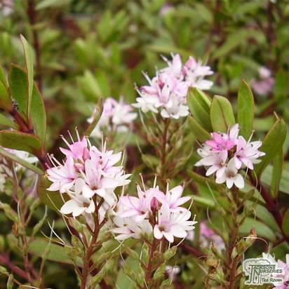 Buy Hebe Pink Paraside online from Jacksons Nurseries