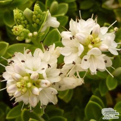 Buy Hebe pinguifolia Sutherlandii (Shrubby Veronica) online from Jacksons Nurseries