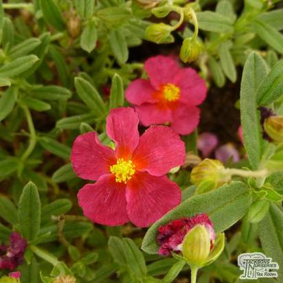Buy Helianthemum Ben Hope (Common Rockrose) online from Jacksons Nurseries