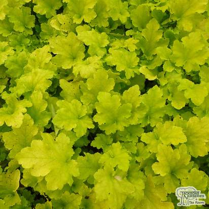 Buy Heuchera Lime Marmalade online from Jacksons Nurseries.