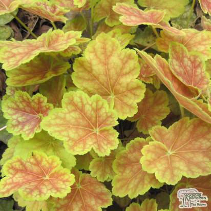 Buy Heuchera Tiramisu (Coral Bells) in the UK
