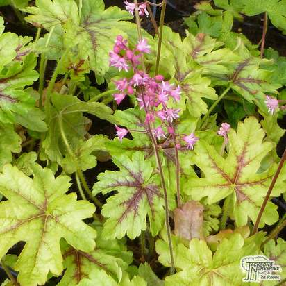 Buy Heucherella Kimono (Coral Bells) online from Jacksons Nurseries