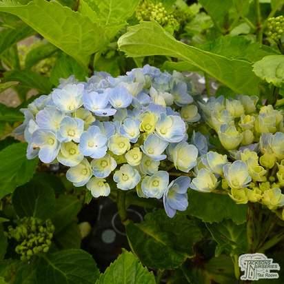 Buy Hydrangea macrophylla Bodensee (Hydrangea Mophead) online from Jacksons Nurseries