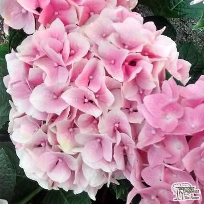 Buy Hydrangea macrophylla Sibilla (Hydrangea Mophead) online from Jacksons Nurseries