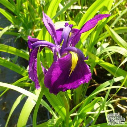 Buy Iris Ensata (Kaempferi) (Japanese Water Iris) online from Jacksons Nurseries