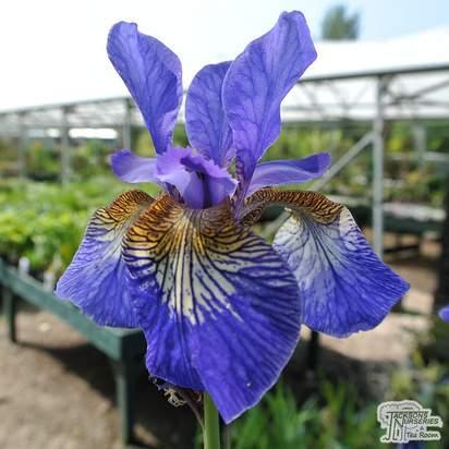 Buy Iris sibirica Blue Moon (Iris Sibirica) online from Jacksons Nurseries