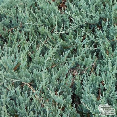 Buy Juniperus horizontalis Blue Chip online from Jacksons Nurseries