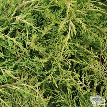 Buy Juniperus x pfitzeriana Old Gold online from Jacksons Nurseries