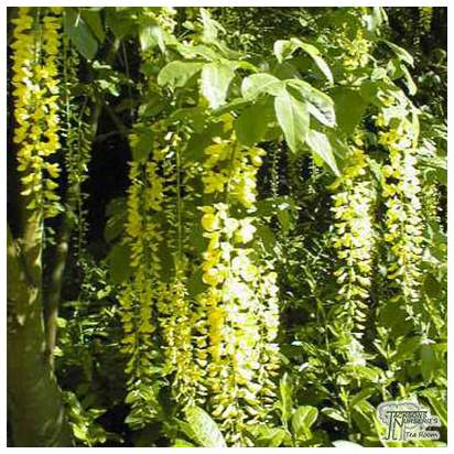 Buy Laburnum x watereri Vossii (Voss Laburnum) online from Jacksons Nurseries