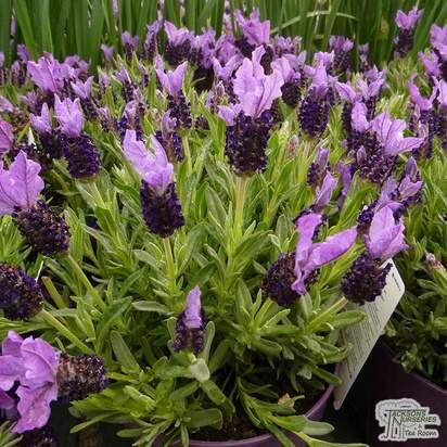 Buy Lavandula stoechas subsp. stoechas (Lavender) online from Jacksons Nurseries