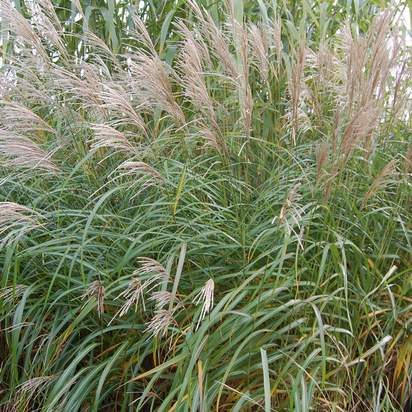 Buy Miscanthus sinensis Silberfeder (Silver Grass) online from Jacksons Nurseries