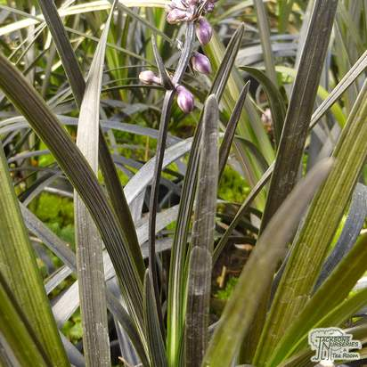 Buy Ophiopogon planiscapus 'Nigrescens'  (Black Lilyturf/Black Dragon) online from Jacksons Nurseries
