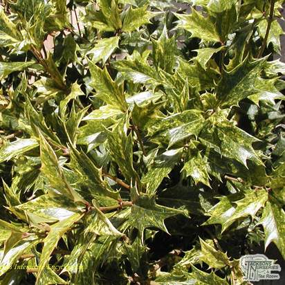 Buy Osmanthus heterophyllus Goshiki (False Holly) online from Jacksons Nurseries