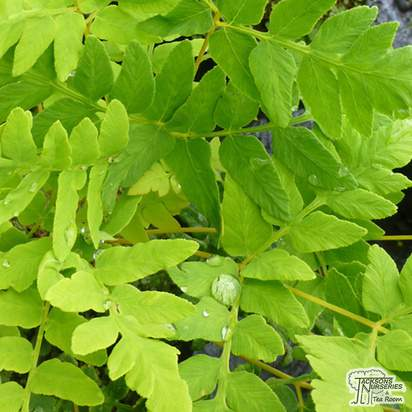 Buy Osmunda Regalis online from Jacksons Nurseries
