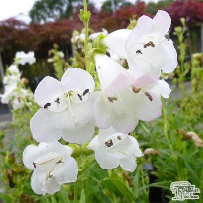 Buy Penstemon White Bedder (Beard Tongue) online from Jacksons Nurseries