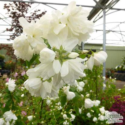 Buy Philadelphus Manteau d'Hermine (Mock Orange) online from Jacksons Nurseries