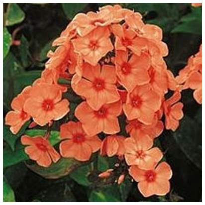 Buy Phlox paniculata Prince of Orange (Garden Phlox) online from Jacksons Nurseries