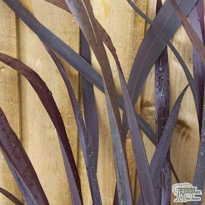 Buy Phormium tenax Atropurpureum online from Jacksons Nurseries