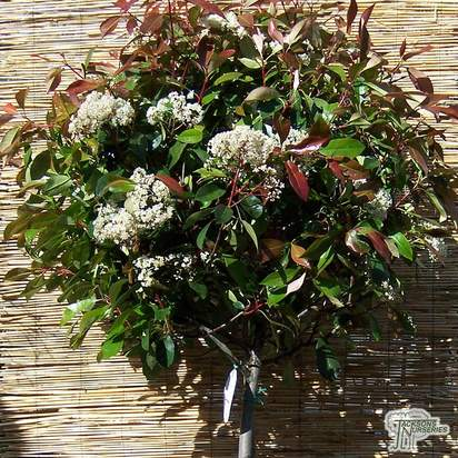 Buy Photinia x fraseri Red Robin Lollipop (Photinia) online from Jacksons Nurseries