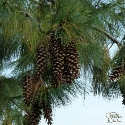 Buy Pinus wallichiana online from Jacksons Nurseries