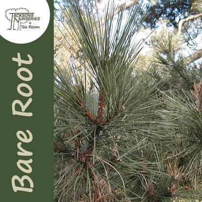 Buy Pinus sylvestris Scots Pine Bare Root online from Jacksons Nurseries