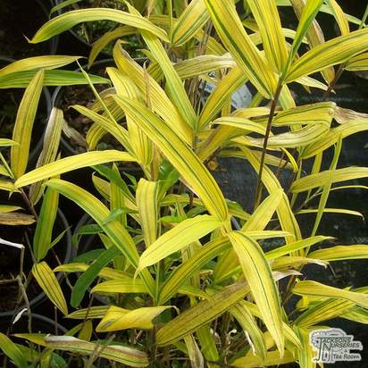 Buy Pleioblastus viridistriatus (auricomus) online from Jacksons Nurseries