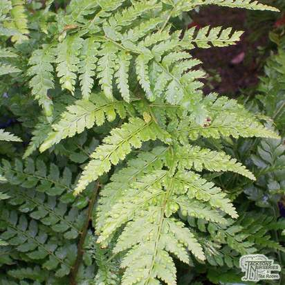 Buy Polystichum setiferim Plumosum online from Jacksons Nurseries.