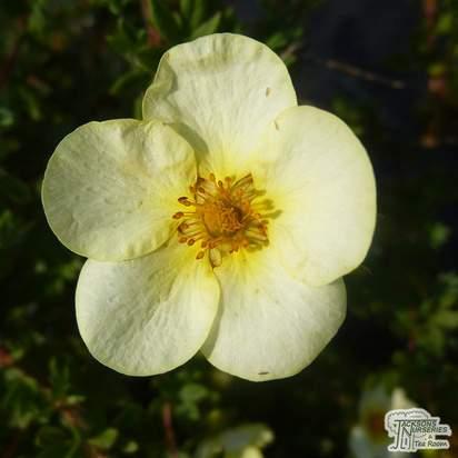Buy Potentilla fruticosa Tilford Cream (Shrubby Cinquefoil) online from Jacksons Nurseries