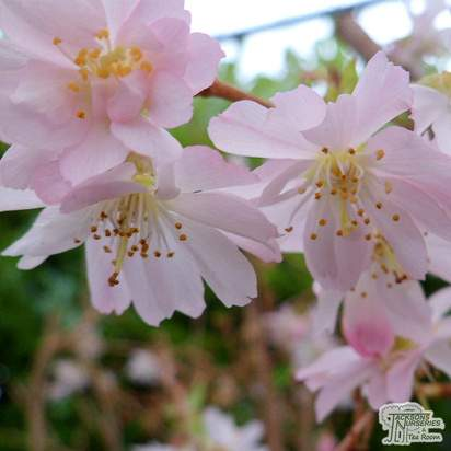 Buy Prunus x subhirtella 'Autumnalis Rosea' (Pink Autumn Cherry) online from Jacksons Nurseries