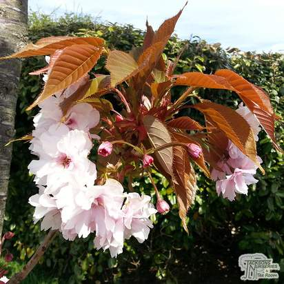 Buy Prunus Kanzan (Japanese Flowering Cherry) online from Jacksons Nurseries