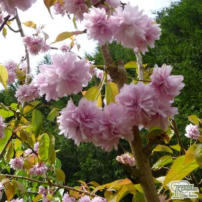 Buy Prunus Kiku shidare-zakura (Cheal's Weeping Cherry) online from Jacksons Nurseries