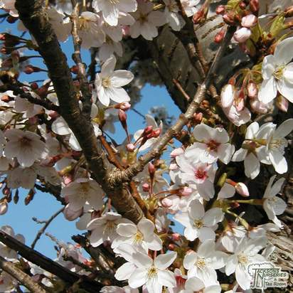 Buy Prunus hillieri Spire (Cherry Tree) online from Jacksons Nurseries