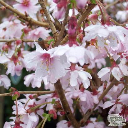Buy Prunus incisa Mikinori (Japanese Cherry) online from Jacksons Nurseries