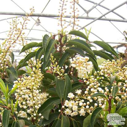 Buy Prunus lusitanica (Portuguese Laurel) online from Jacksons Nurseries