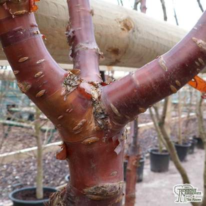 Buy Prunus serrula 'Tibetica' (Mahogony Bark Cherry (Tibetan Cherry)) online from Jacksons Nurseries