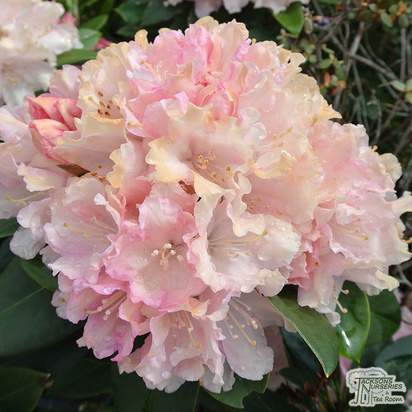 Buy Rhododendron Bashful (Yakushimanum Rhododendron) online from Jacksons Nurseries