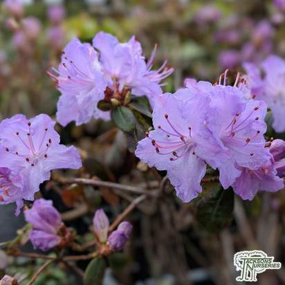 Buy Rhododendron Blue Diamond online from Jacksons Nurseries