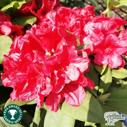Buy Rhododendron Dopey online from Jacksons Nurseries