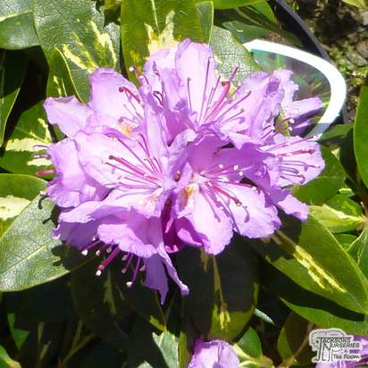 Buy Rhododendron Goldflimmer (Hybrid Rhododendron) online from Jacksons Nurseries