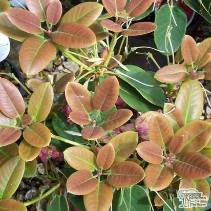 Buy Rhododendron Linda online from Jacksons Nurseries