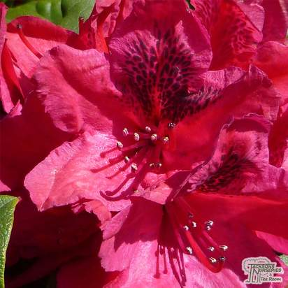 Buy Rhododendron Lord Roberts (Hybrid Rhododendron) online from Jacksons Nurseries