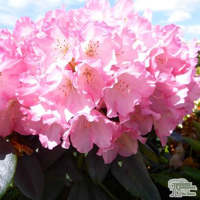Buy Rhododendron Polaris online from Jacksons Nurseries