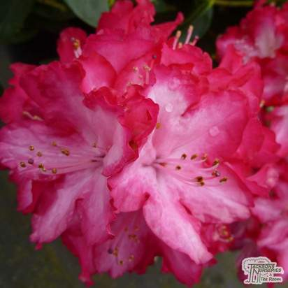 Buy Rhododendron President Roosevelt online from Jacksons Nurseries